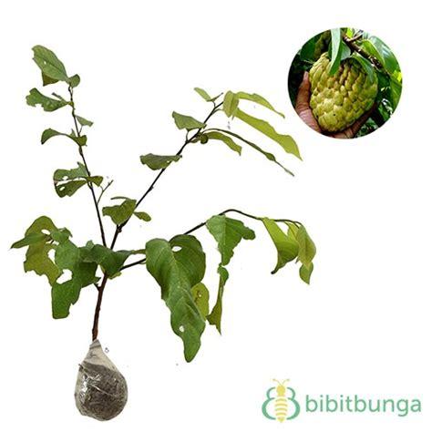 Bibit Bunga Matahari Jumbo tanaman srikaya jumbo jual tanaman hias
