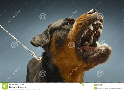 rottweiler barking ferocious rottweiler barking royalty free stock images image 33903969