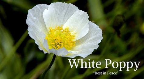 white meaning flowers that represent peace flowers ideas for review