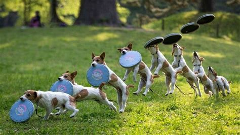best frisbees best frisbee dogs some of the best dogs to play frisbee with