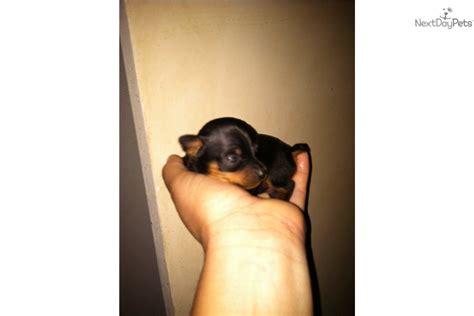 teacup miniature pinscher puppies for sale miniature pinscher puppy for sale near southeast ks kansas f50a0397 ff71