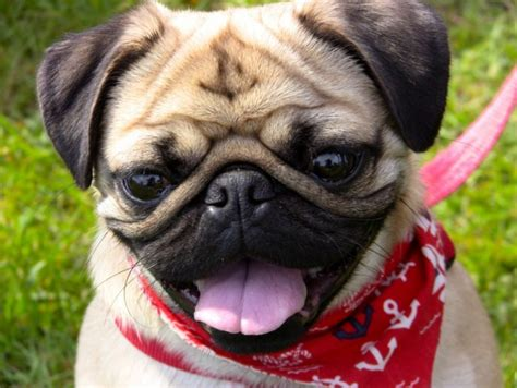Black Pugs Shed Less by 5 Things About Pugs Talent Hounds