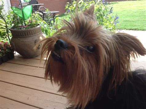 yorkie with underbite pin by tina white on all about yorkies 2