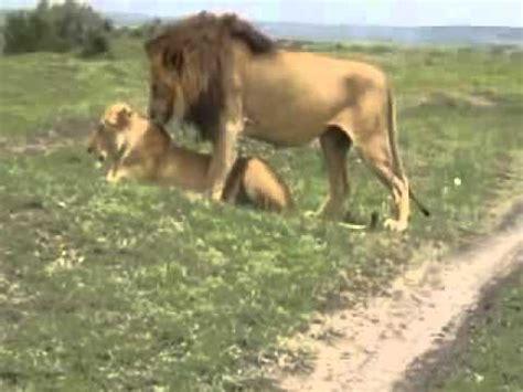 imagenes de leones reproduciendose pareja de leones apareandose youtube