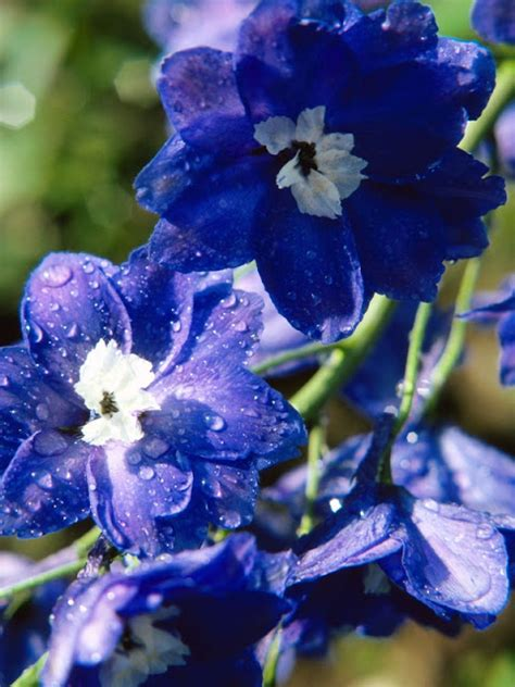 blossoms delphinium