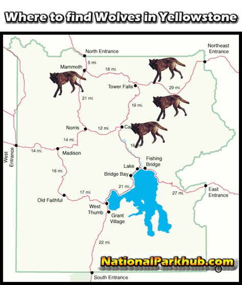 where to find yellowstone wolf facts and locations nationalparkhub