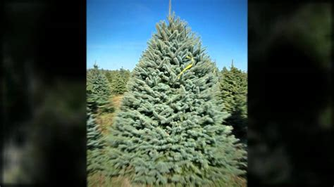 christmas trees indiana pa 15701 814 948 4990 pineton