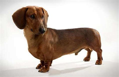 Haired Dachshund Shedding by Top 10 Low Shedding Breeds Feminiyafeminiya