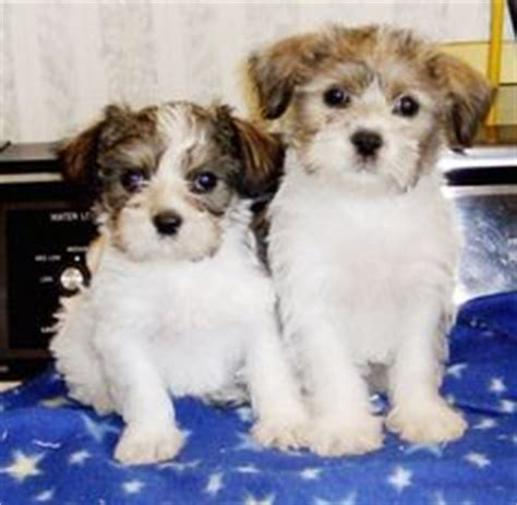 shih tzu craigslist shih poo shih tzu poodle mix it might be a designer pup but it s pretty darn