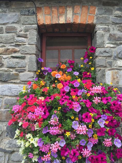 piante da davanzale pin di pisola pis su fiori vinduer