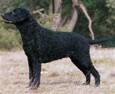Curly Coated Retriever - Steadfast & True - Dogs Monthly
