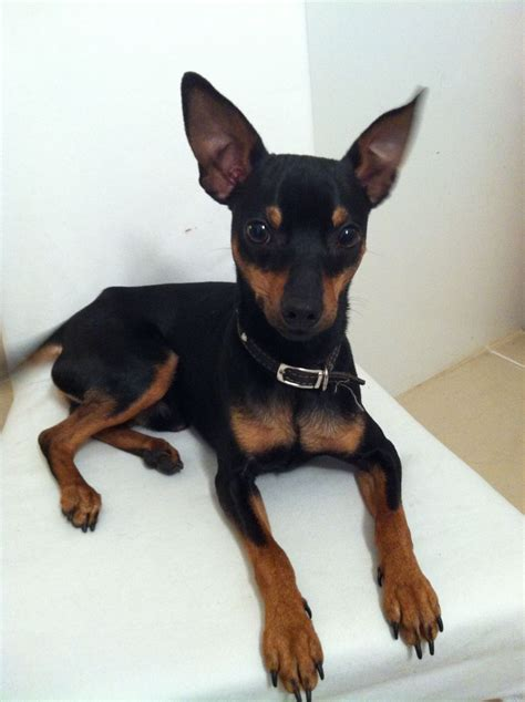 mini pin puppies lovely miniature pinscher for sale stockport greater manchester pets4homes
