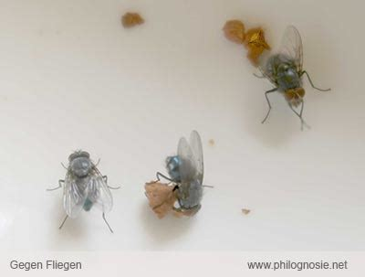 fliegenplage in der wohnung viele fliegen im haus ihre inspiration zu hause