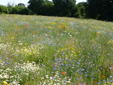 about wild flower lawns and meadows wild flower lawns