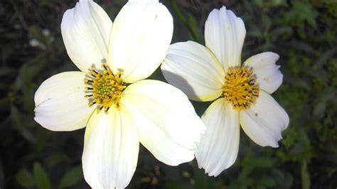 imagenes de flores blancas significado flores blancas jaras blancas im 225 genes y fotos