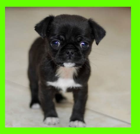 pugs for adoption uk miniature pugs for adoption breeds picture
