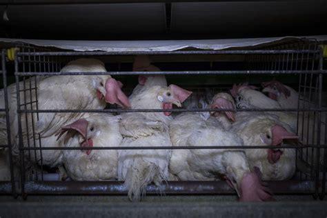 allevamento galline ovaiole in gabbia il destino crudele delle galline ovaiole in italia una