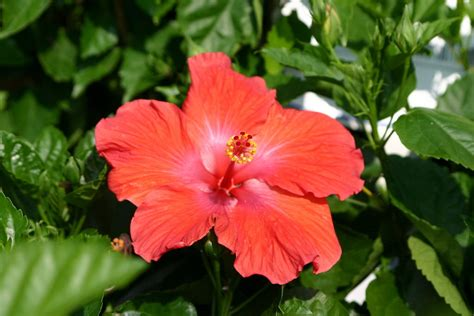 what color is hibiscus hardy hibiscus brings tropical color and flowers to