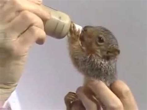 bob ross painting with squirrel bob ross feeds peapod the squirrel