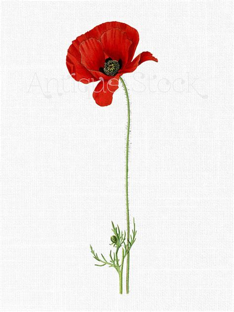 poppy background cliparts free download clip art free