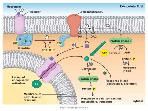 G Coupled Protein Receptor Pathway G Protein Coupled Receptors Pathway