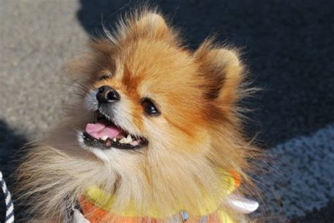 do pomeranian puppies shed do pomeranians shed canna pet 174