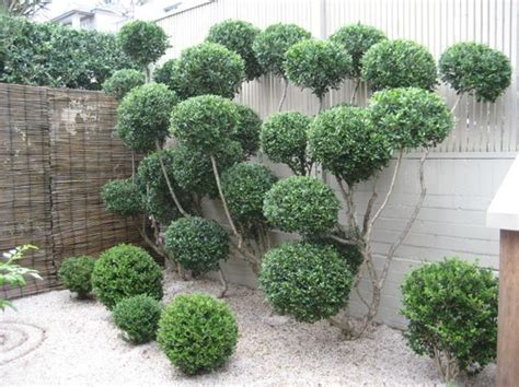 types of topiary trees cloud pruning quot the owner of the garden has turned one
