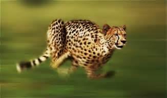 Is A Jaguar Faster Than A Cheetah Citah Pelari Tercepat Di Dunia Pendidikan 60 Detik