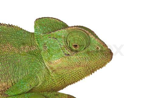 Chameleon Headl of chameleon stock photo colourbox