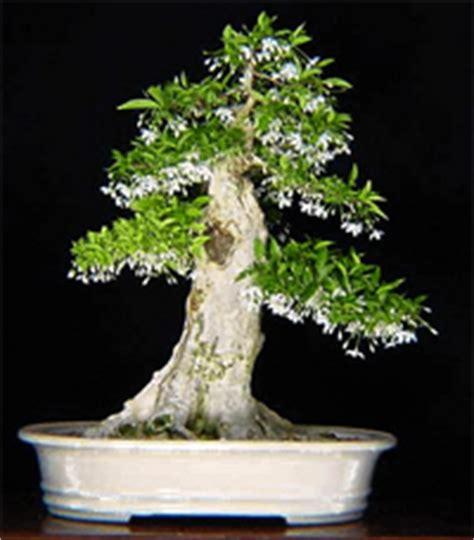 libro bonsai from native trees water jasmine bonsai tree wrightia religiosa