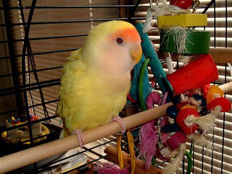 lutino rosy faced lovebird mutation wikipedia