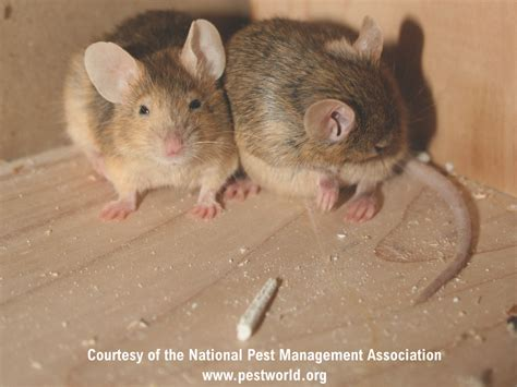 house mice house mice profile control identification of mice