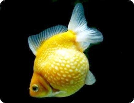 Pakan Untuk Larva Ikan Koki bisnis ikan hias jenis jenis ikan hias air tawar yang pas