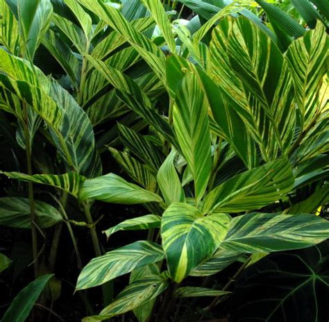 tropical foliage plants pictures alpinia zerumbet variegata