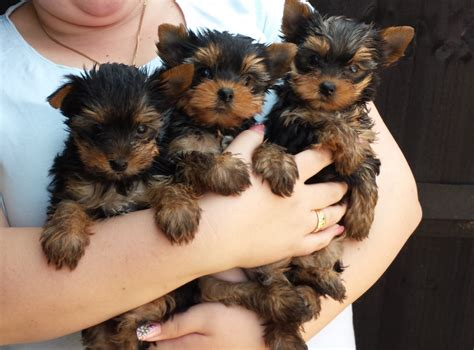 yorkie teddy small teddy yorkie puppies march cambridgeshire pets4homes
