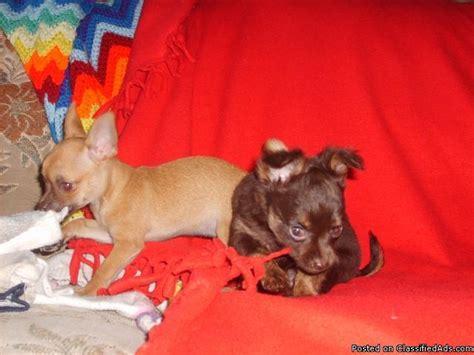 chihuahua puppies price chihuahua puppies price 150 for sale in bolivar mississippi best pets
