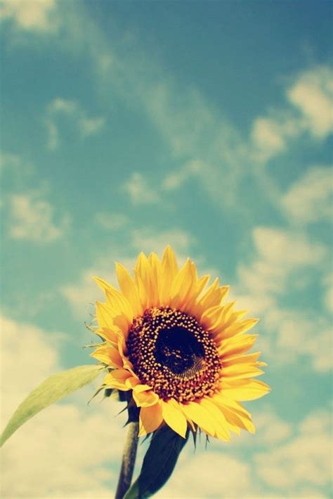 wallpaper for iphone sunflower 233 best images about sunflowers on pinterest flower
