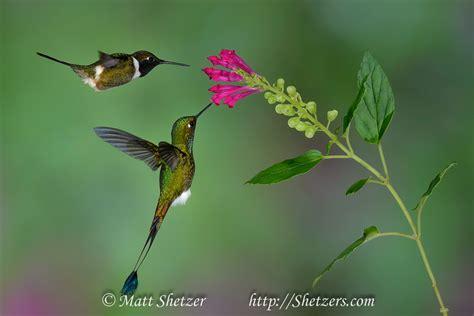 hummingbirds of ecuador fm forums