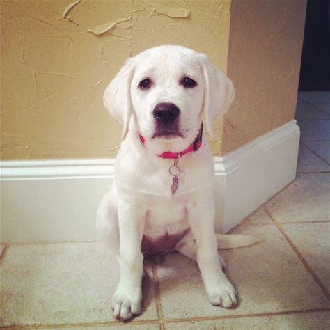 labrador retriever puppies mn white labrador retriever breeders mn merry photo