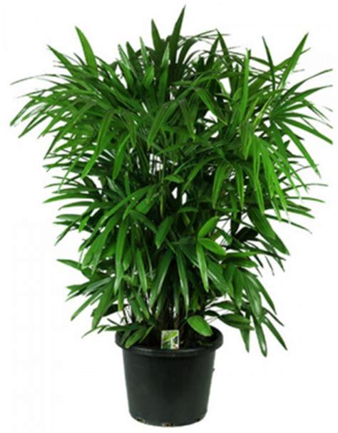 tanaman hias daun palem indoor tanaman hias