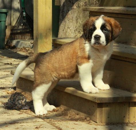 st bernard puppy for sale bernard puppies for sale curious puppies