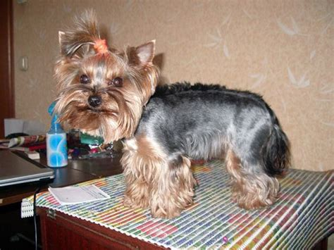 yorkie hair cut styles explore yorkie haircuts pictures and select the best style for your pet
