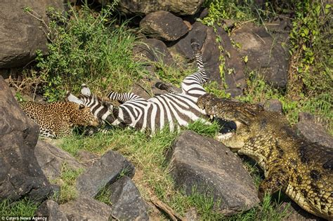 Jaguar Grabs Crocodile Doomed Zebra Becomes Lunch For A Leopard And A Crocodile