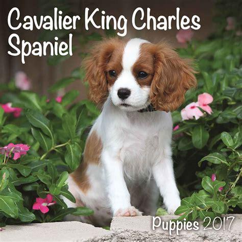 miniature king charles spaniel puppies cavalier king charles spaniel puppies mini calendar 2017 calendar club uk
