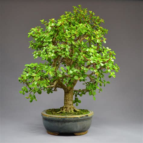 Indoor House Plants Sale yamadori shop com bonsai online shop