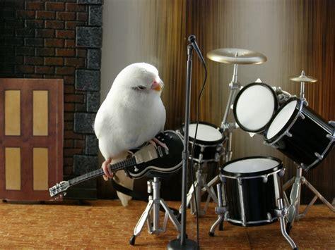 birds guitars drums budgie parakeet 1600x1200 wallpaper
