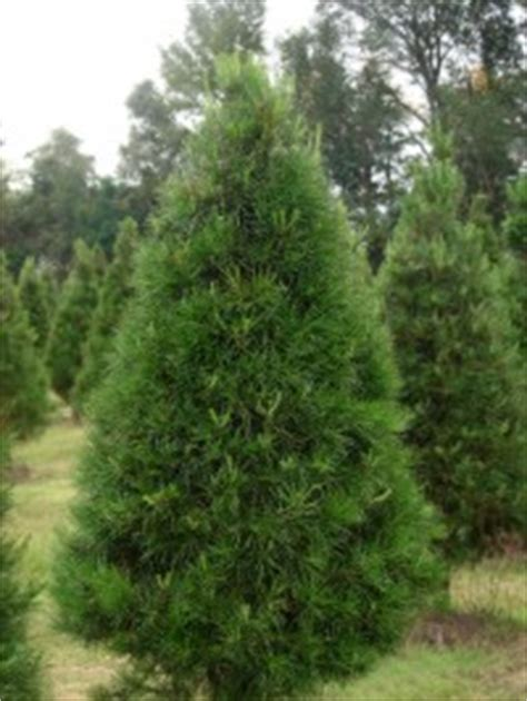 virginia pine slim artificial christmas tree 2012 target tree virginia photo albums fabulous homes interior design ideas