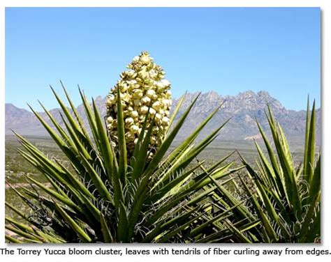 100 yucca green paint color tips for pruning a yucca doityourself painted