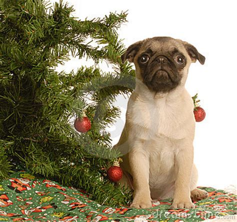 pug christmas tree pug puppy tree royalty free stock images image 7044039