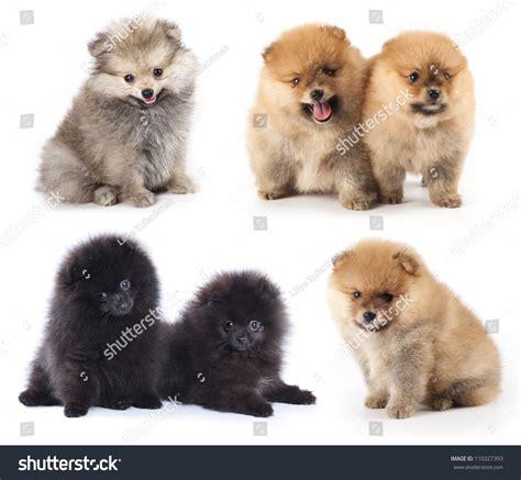 different colored pomeranians miniature pomeranian spitz puppy of puppies different colors stock foto